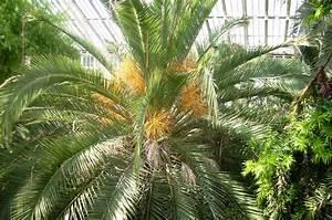 Kanarische Dattelpalme Kaufen : winterharte palmen pflege winterharte palmen sortiment 1a ~ Lizthompson.info Haus und Dekorationen