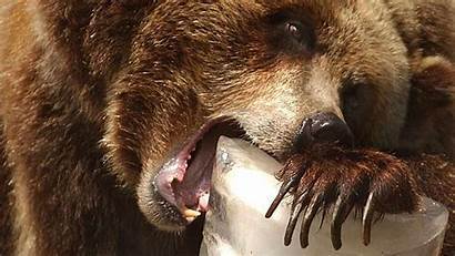Grizzly Bears Zoo Bear Confronted Fun Height