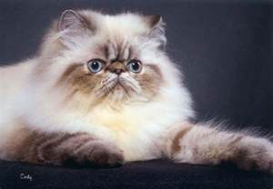 himalayan cat pictures himalayan color point cats as pets collection