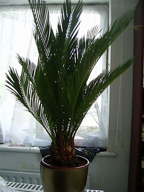 bought  sago palm today     care