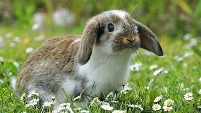 Bunny Rabbit Desktop Wallpapers Background Bunnies Flowers
