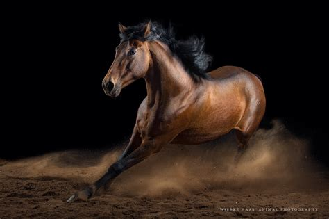 horse horses equine 500px photograph action photographer portraits haas wiebke animal equestrian pferdefotografie everything know need wild iso
