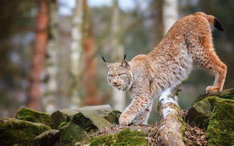Animal Desk Memo Board animals cats lynx trees forest wildlife predator nature