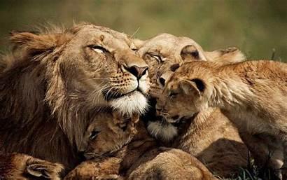 Lion Desktop Lions Wallpapers13