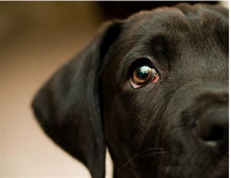artistic dog   boxador puppypng  res p hd