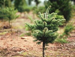 How To Start A Christmas Tree Farm | madinbelgrade