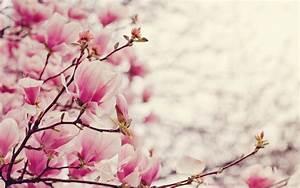 Magnolia Blooms Desktop Widescreen Wallpaper
