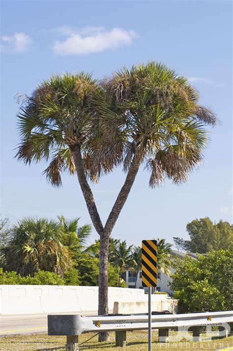 double headed cabbage palm  cape coral florida state