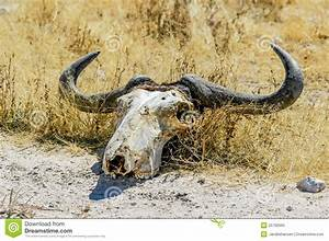 Skull Of A Wildebeest (Connochaetes) Royalty Free Stock ...