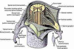 Spinal Cord And Meninges