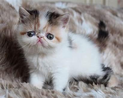 Exotic Shorthair Cats York Face Doll Ny