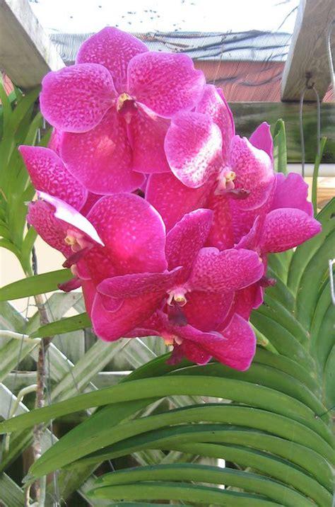 growing vanda orchids   home