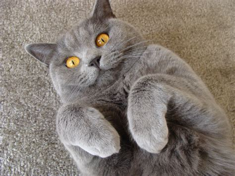 Shorthair Cat - the cat the of a shorthair cat