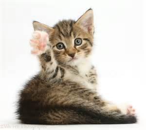 waving cat tabby kitten waving photo wp42139