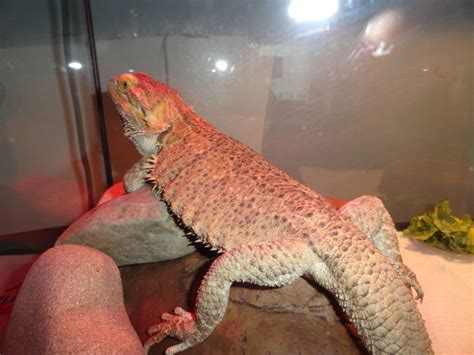 jango basking in his new house leopard gecko and bearded