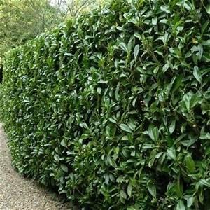 Arbuste Persistant Haie : plantes et jardins votre jardinerie en ligne gamm vert ~ Premium-room.com Idées de Décoration