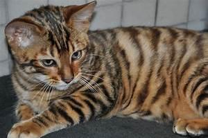 Toyger kitten photo and wallpaper. Beautiful Toyger kitten ...