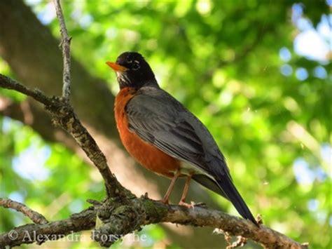 american robin midwest bird watching