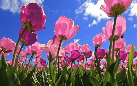 Pink Tulip Backgrounds by Pink Tulips Wallpaper 183 Wallpapertag
