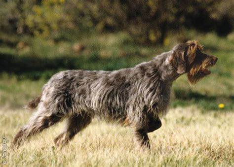 Griffon German Wirehaired Pointer Shedding by Wirehaired Pointing Griffon Breeds