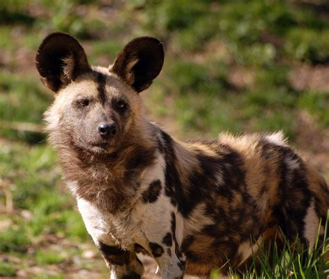 African Wild  Ee  Dog Ee   The African Wild  Ee  Dog Ee   Lycaon Pictus Is