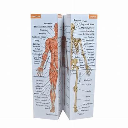 Anatomy Cube Human Study Advanced Opening Medicine
