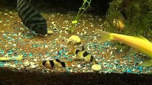 Poisson Aquarium Eau Chaude : mes poissons et video d 39 une repro de nigro dans aqua ~ Mglfilm.com Idées de Décoration