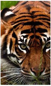 Tiger Face Wallpapers Group (74+)