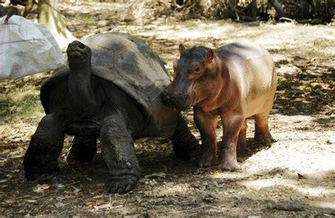 hippo   tortoise  animal odd couples mnn