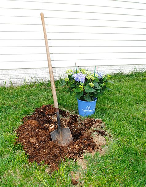 Planting Hydrangeas For Summer Color  The Graphics Fairy