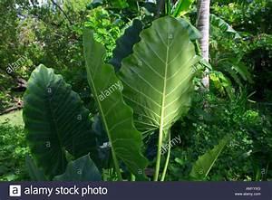 Pflanze Große Blätter : jungle leaves stockfotos jungle leaves bilder alamy ~ Avissmed.com Haus und Dekorationen