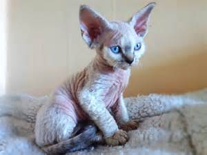 rex cats rex cat breed profile uk cat breeders