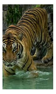 Tiger Pics - PictureMeta