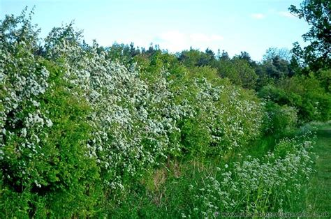 Hawthorn, Native Shrub In Hedgerows Across Britain Urban