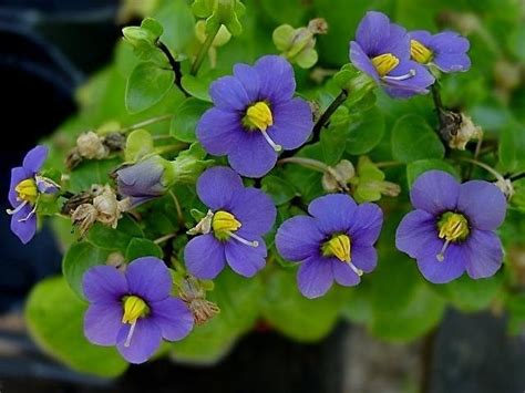 plantfiles pictures persian violet german violet exacum