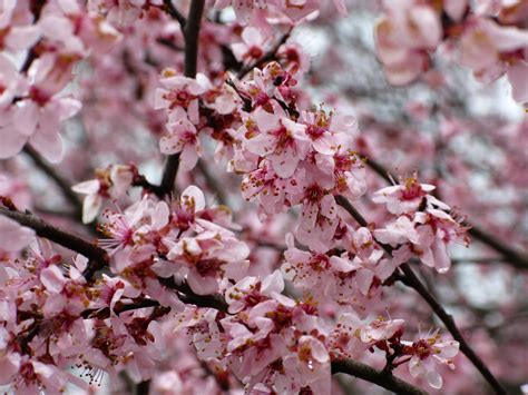 blooming plum tree file flowering plum tree spring west virginia forestwander jpg