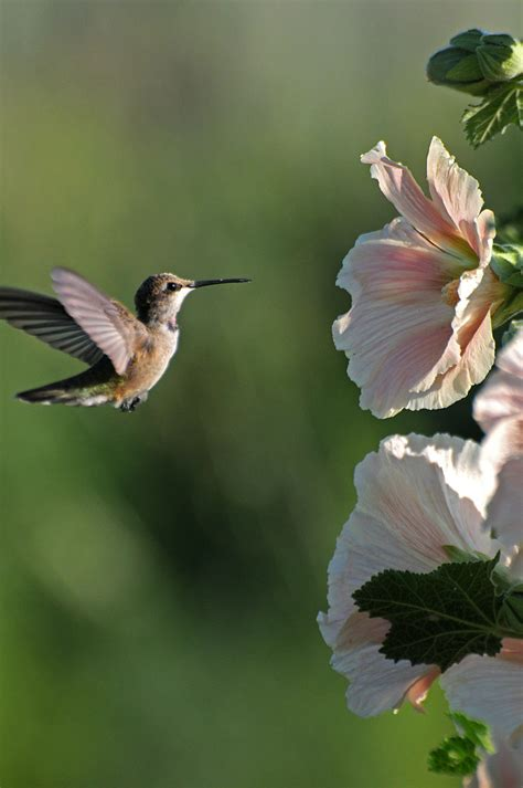 Hummingbird and Hollyhocks   A hummingbird descends on