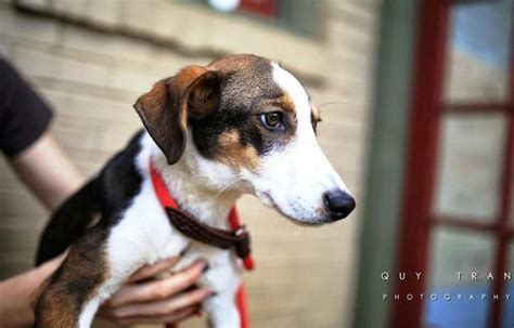 twiggy  fox terriers whippets  terrier mix