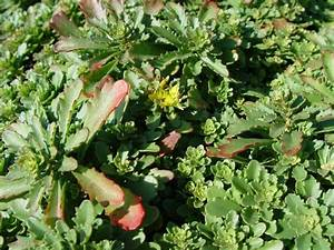 Acheter Des Plantes : sedum floriferum 39 weihenstepaner gold 39 plantes vivaces acheter des plantes en ligne ~ Melissatoandfro.com Idées de Décoration