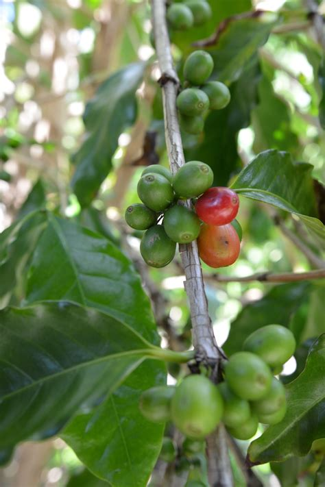 Itching to get your hands dirty? Coffea arabica (Arabica Coffee Tree)