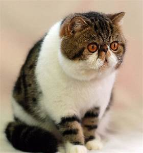Exotic Shorthair Cats Kittens Grands Of Cattery RusLana