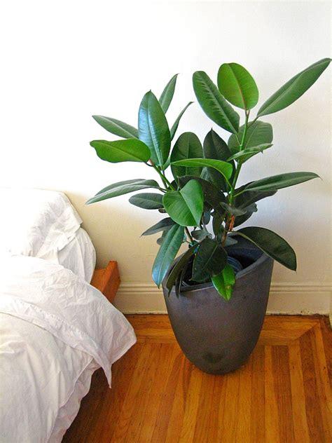 Ficus Pflanze Pflege by Gummibaum Ficus Elastica 187 Vermehrung Pflege