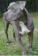 American Pit Bull Terrier Puppy Dog Dogs Puppies Pitbull      my      Bull Terrier Blue Nose Pitbull Mix
