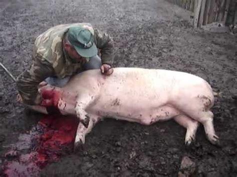 pig slaugter  bosnia egorgement de cochon en bosnie
