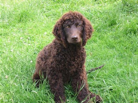 Dog Breeds That Dont Shed Large by Photo Irish Water Spaniel Dog Standard Irish Water Spaniel