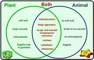 Plant Vs Animal Cell Venn Diagram Lovely A Venn Diagram On