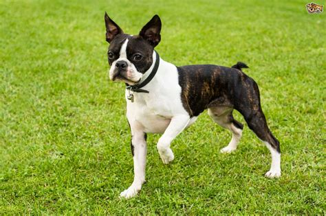boston terrier dog breed facts highlights buying