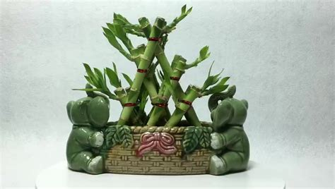 indoor decoration wholesale lucky bamboo buy wholesale