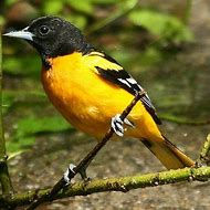 best 25 ideas about maryland state bird find what you ll love