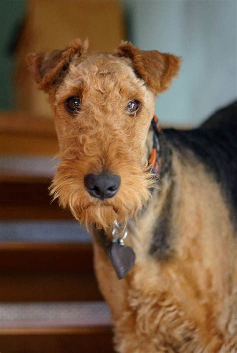 do airedale puppies shed 95 best airdale terrier images on